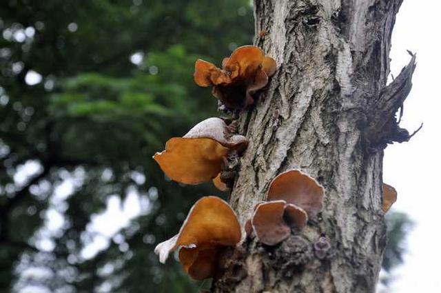 潮湿的木头长木耳,寒湿的体质长肿瘤!