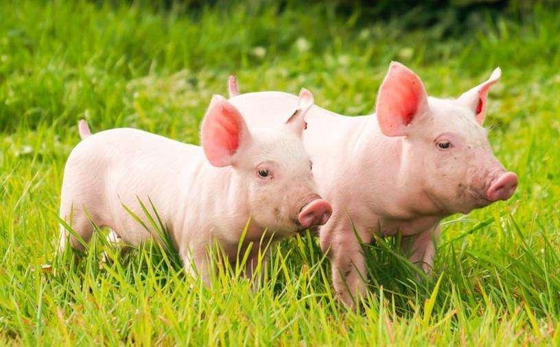 健康与生产:猪圈的除湿