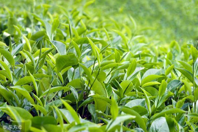 春水秋香 又到了秋茶炒制的季节,需要注意些什么